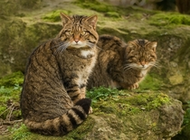 Scottish Wildcat - An endangered ancient cat species with very interesting lives