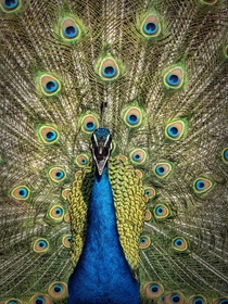 Screaming Peacock