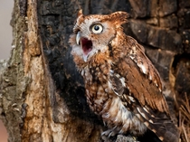 Screech Owl Carolina Raptor Center photo by Matt Cuda