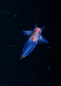 sea angel Clion limacina