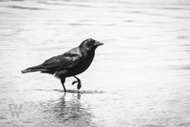 Sea Crow Crow walking the beaches of Seal Rock Oregon