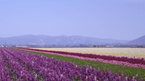 Sea of lavender outside of Lompoc California