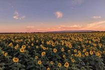 Sea of Sunflowers at Sunset Davis CA