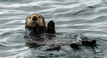 Sea otter waving to you