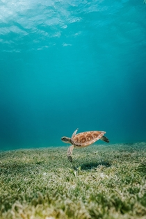 Sea turtle floating in the waters of Aruba Photo credit to David Troeger