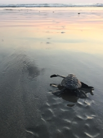 Sea Turtle headed home