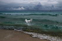 Seagull fishing in the ocean off Ambergris Caye Belize  photo by Helena Glen Cove