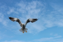 Seagull In Flight Photo credit to Manfred Richter