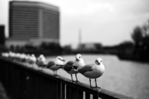 Seagulls queued up on a rail in Osaka Japan