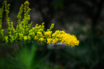 Seaside Goldenrod Solidago sempervirens