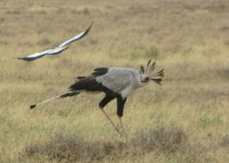 Secretary Birds Saggitarius serpentarius on the Serengeti photo by D Gordon E Robertson