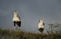 Secretary Birds Sagittarius serpentarius on top of tree Ndutu Tanzania