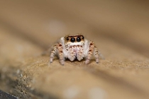 See I told you Jumping spiders arent creepy