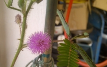 Sensitive Plant in bloom