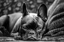 Serious French Bulldog Canis lupus familiaris