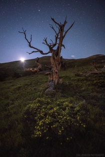Setting moon over a Bristlecone Pine in Colorado