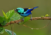 Seven-colored Tanager Tangara fastuosa by Thiago T Silva