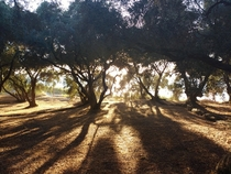 Shadows in the olive grove Vrachos Greece