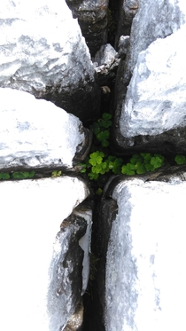 Shamrocks in the burren Co Clare Ireland