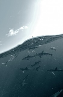 Sharks in the Gulf of Mexico  photo by Andrew Shpatak