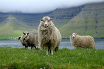 Shee-pose in Faroe Islands
