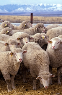 Sheep belonging to a research flock at the US Sheep Experiment Station near Dubois Idaho Photo Keith Weller