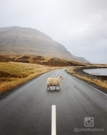Sheep Crossing - Grundarfjrur Iceland