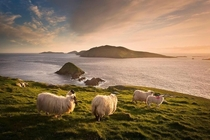 Sheep enjoying the beautiful scenery on Blasket Islands Count Kerry Ireland
