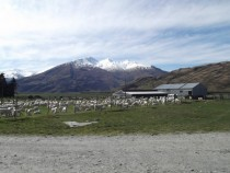 Sheep farming near Wanaka New Zealand