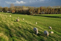 Sheep grazing in Kaag en Braassem Netherlands
