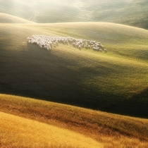 Sheep in Tuscany