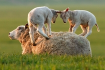 Sheep Leaping Lambs by Roeselien Raimond