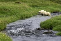 Sheep leaping over a creek in Iceland By Wendy Quadling