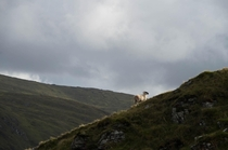 Sheep looking majestic Glengesh Pass Ireland