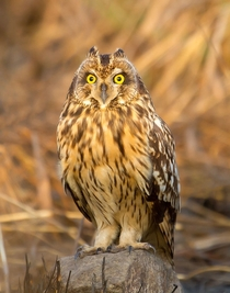 Short-Eared Owl - Asio flammeus from Mumbai India