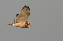 Short-eared Owl Asio flammeus in flight  Photo by Mandy West