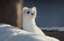Short-tailed weasel Mustela erminea