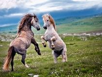 Showdown Wild stallions in Bosnia fighting for supremacy