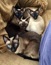 Siamese cats Felis catus siamensis with outstandingly beautiful blue eyes - OS OC - aka my precious baby girls