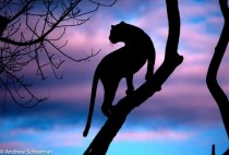 Silhouette of a leopard on a dead tree surveying the sky