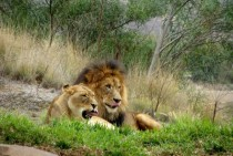 Silly African Lions Panthera leo