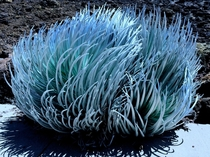Silversword at the summit of Haleakala Maui Hawaii  One of the cooler looking plants Ive seen