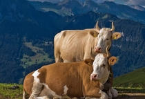 Simmental breed somewhere in Switzerland I guess