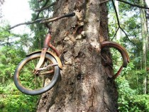 Since  this tree on Vashon Island WA has been slowly devouring this childs bike The front wheel still spins