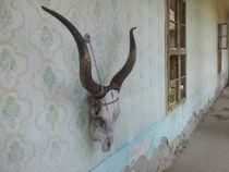 Skull of a Hungarian Grey Cattle on the wall of an abandoned farmer house