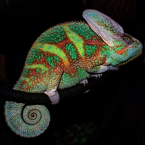 Sleeping Piebald Veiled Chameleon