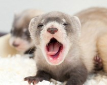 Sleepy blackfooted ferret kit mustela nigripes -