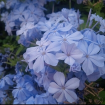 Sleepy blue flowers  picture by me