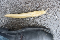 Slug near Grays Harbor WA state