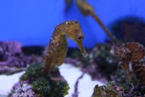 Small Seahorse at Okinawa Churuami Aquarium